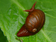 St Helena Blushing snail