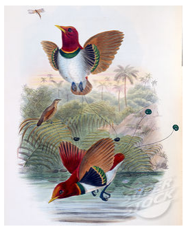 King Bird of Paradise John Gould