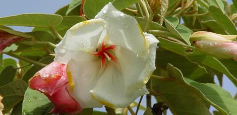 rebony - hybrid of St Helena Ebony and Redwood